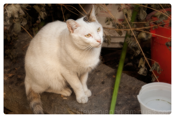 A well groomed cat at Kat Hing Wai village.