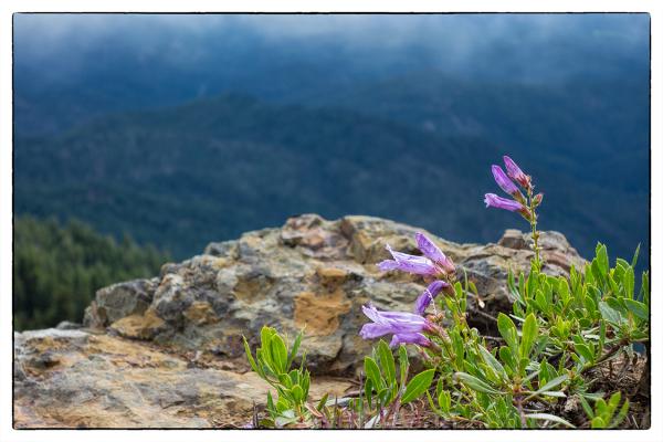 A Cascade Beardtongue on Red Top Mountain.
