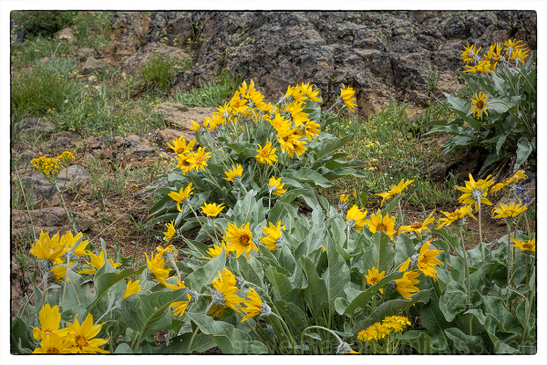 Balsamroot on Red Top Mountain.