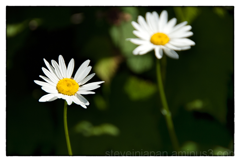An Oxeye Daisy on Silver Star Mtn.
