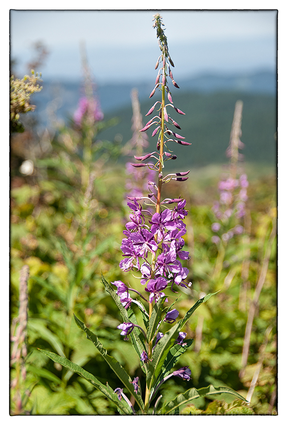Fireweed on Silver Star Mtn.