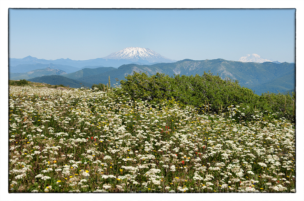 An carpet of wildflowers on Silver Star Mtn.
