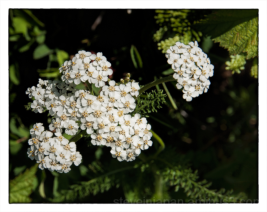Common Yarrow on Silver Star Mtn.