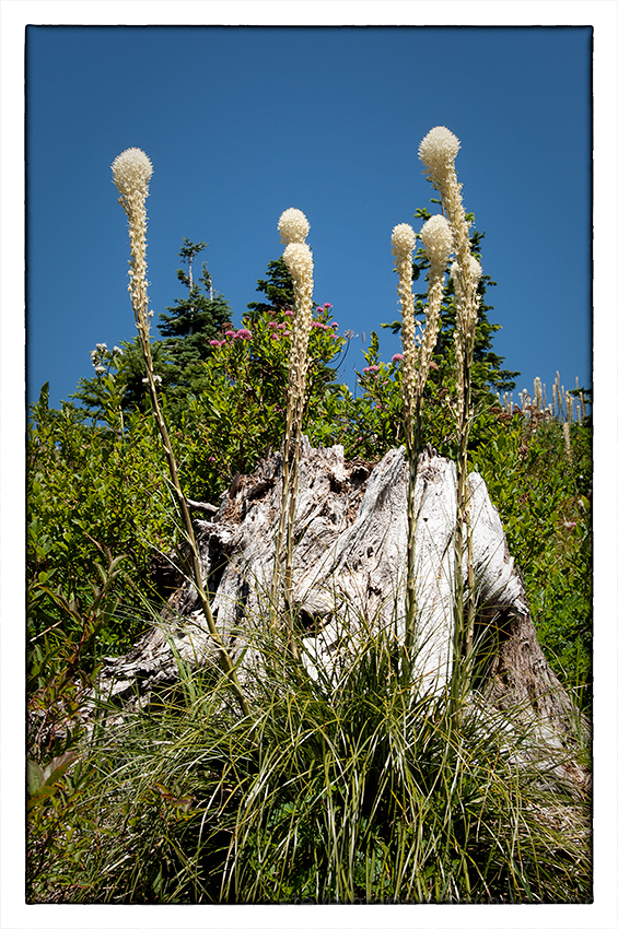 Beargrass on Silver Star Mtn.