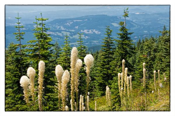 Beargrass on Silver Star Mtn.