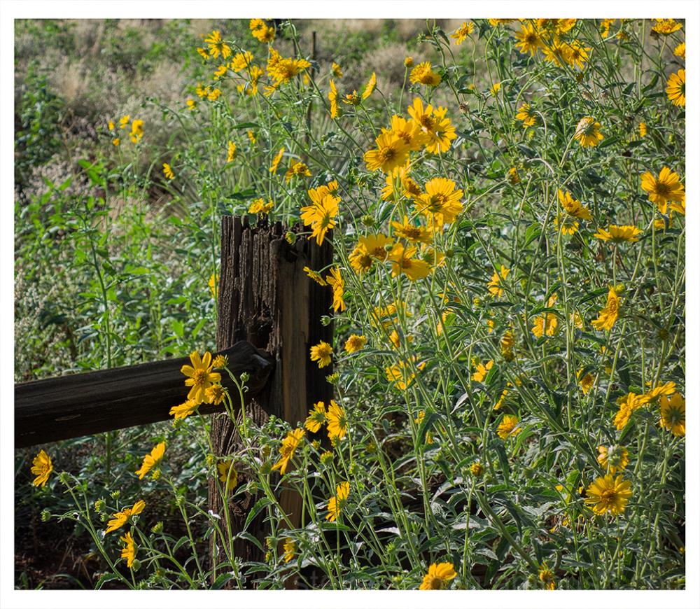 An old fence and flowers in West Sedona, AZ.