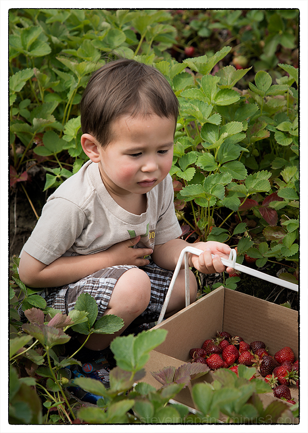Alex and his parents picking strawberries.