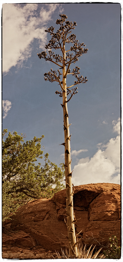 A dead Agave on the Little Horse Trail.