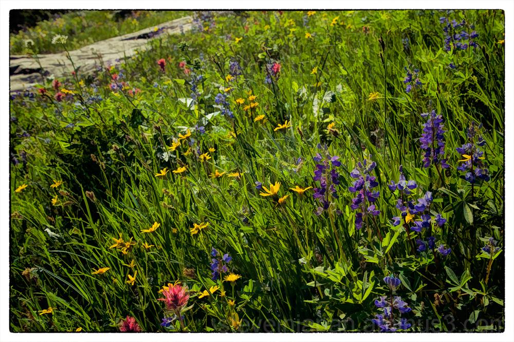 washington mount rainier naches peak trail flower