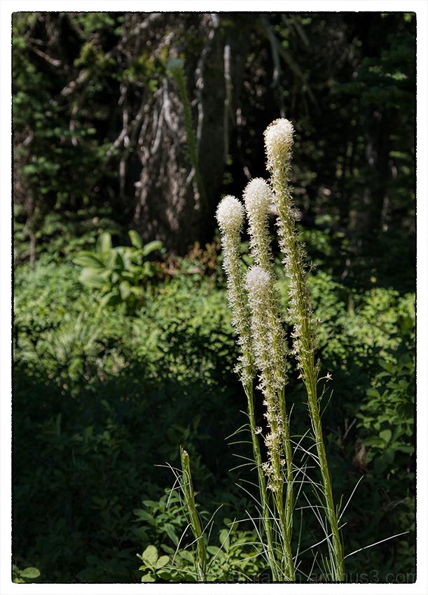 Bear Grass along the Naches Peak Loop Trail.