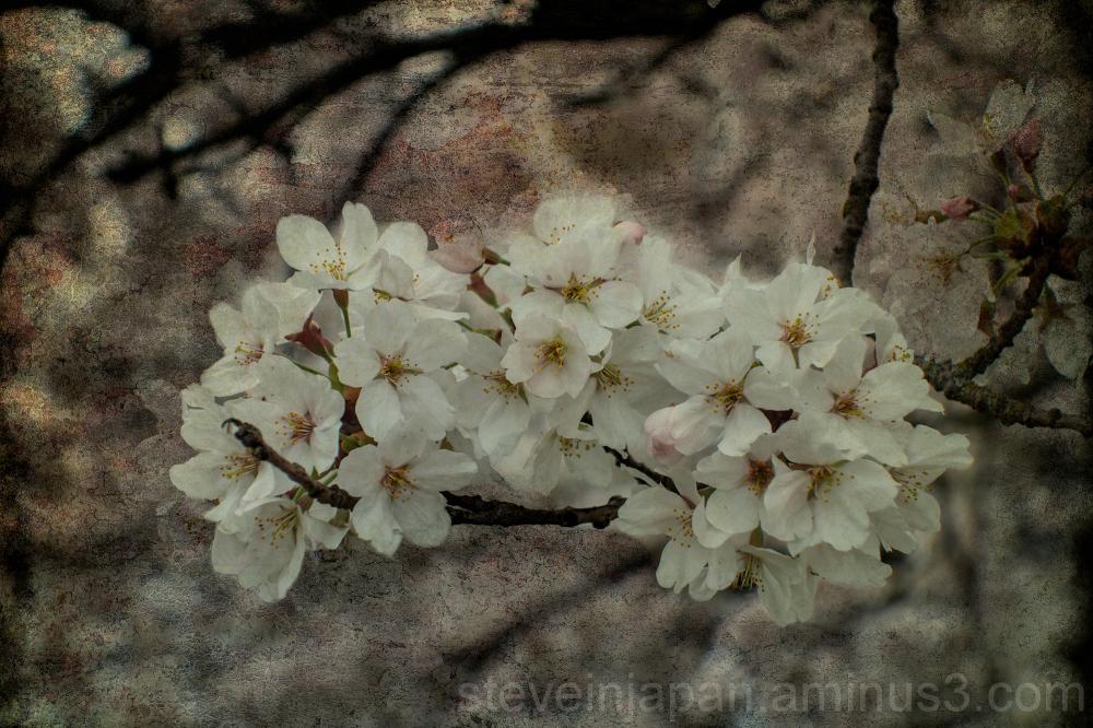 Sakura in Olympia, WA.