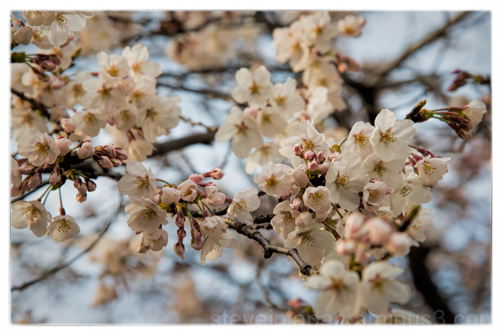 Sakura in the Hiroshima Peace Memorial Park.