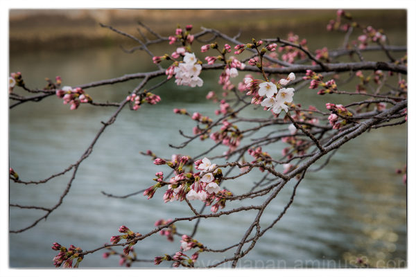 Sakura in the Hiroshima Peace Memorial Park.