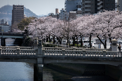 Sakura by the River