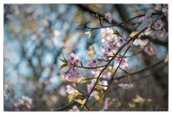 Sakura at the Hiroshima Botanical Garden.