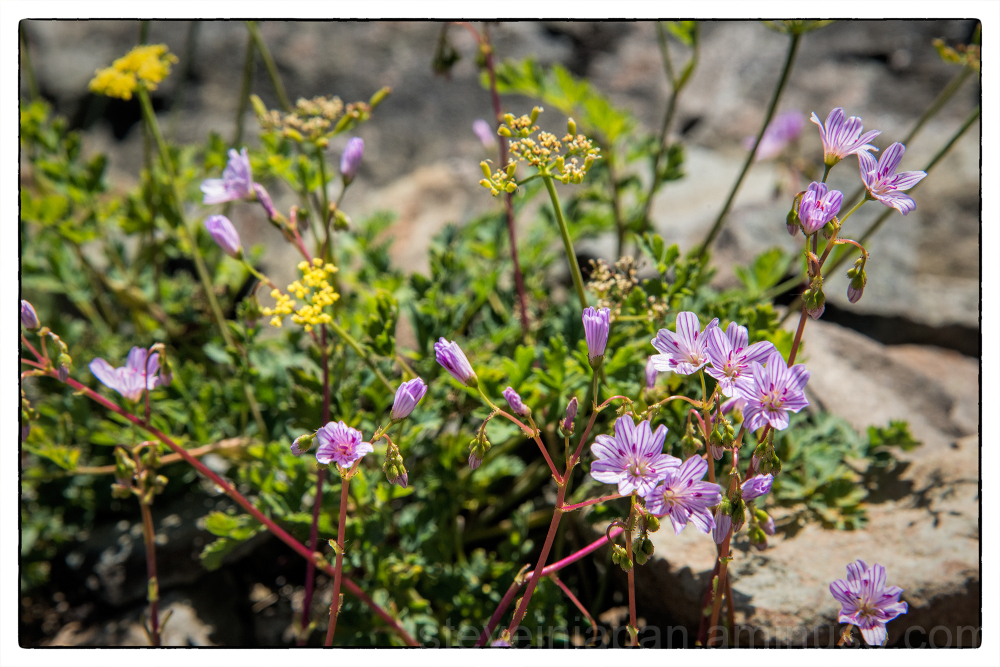 Columbia Lewisia on Silver Star Mtn.
