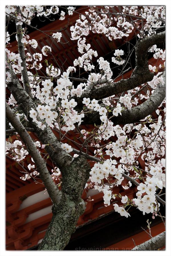 Splendid Sakura near Senjo-kaku.