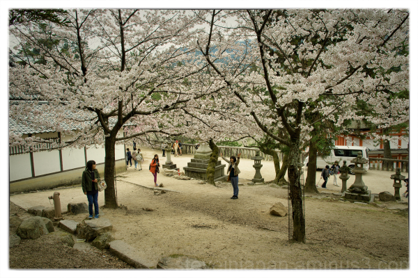 A cloud of blossoms on Miyajima.