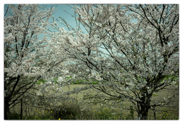 Cherry trees out the railcar window.