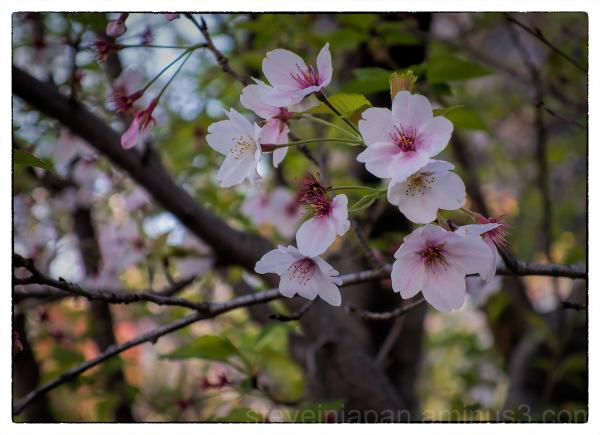 Sakura in a tiny park in Tokyo.