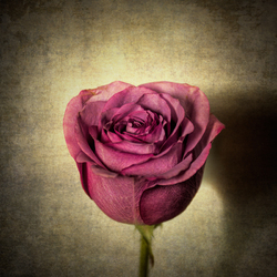 A rose with textures.
