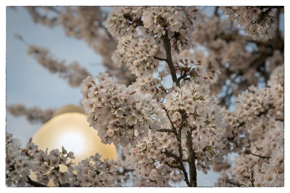 Sakura at Capitol Lake in Olympia, WA.