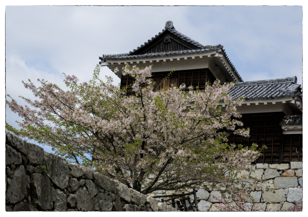 A turret and Sakura at Matsuyama Castle.