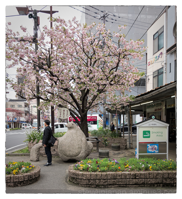 A beautiful cherry tree in downtown Matsuyama, JP.