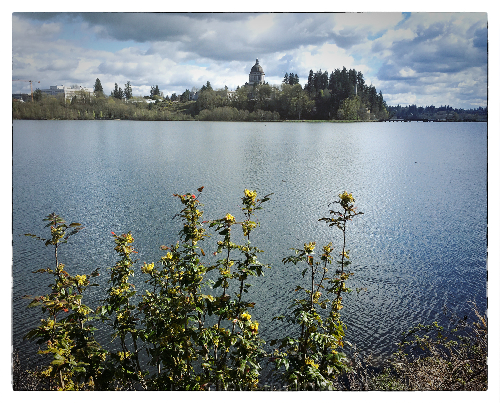 Oregon Grape at Capitol Lake in Olympia, WA.