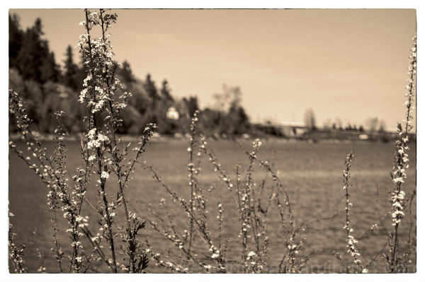 Little White Blossoms
