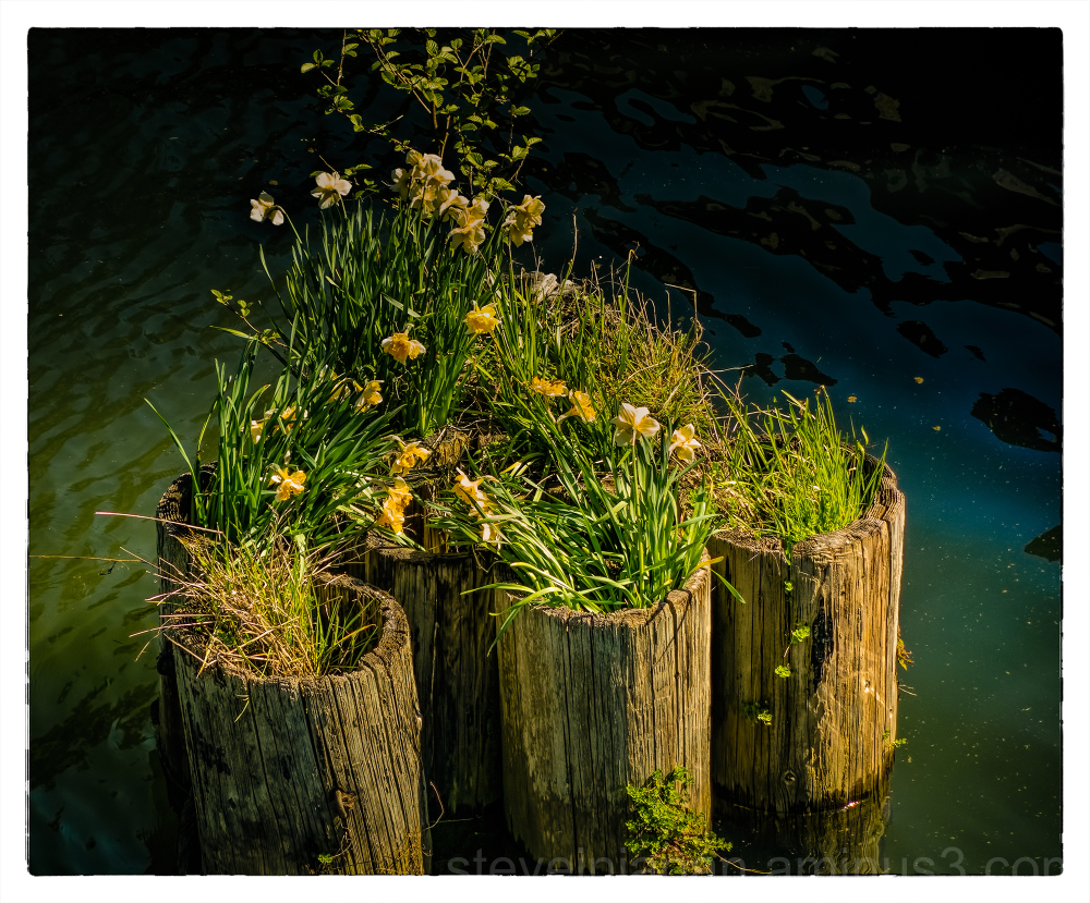 Flowers on old pilings in Capitol Lake.