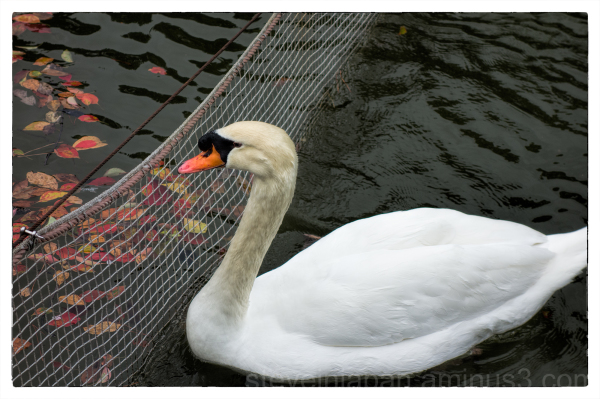 A swan swimming in Matsuyama, Japan.