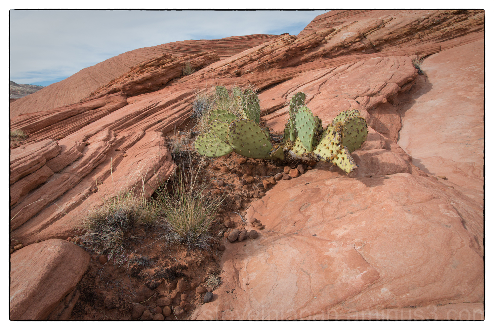 Cactus on dunes in Snow Canyon State Park, Utah.