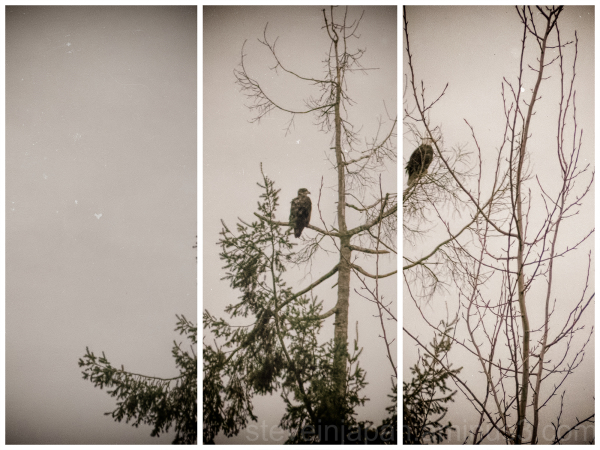 Bald Eagles at Nisqually Wildlife Refuge.