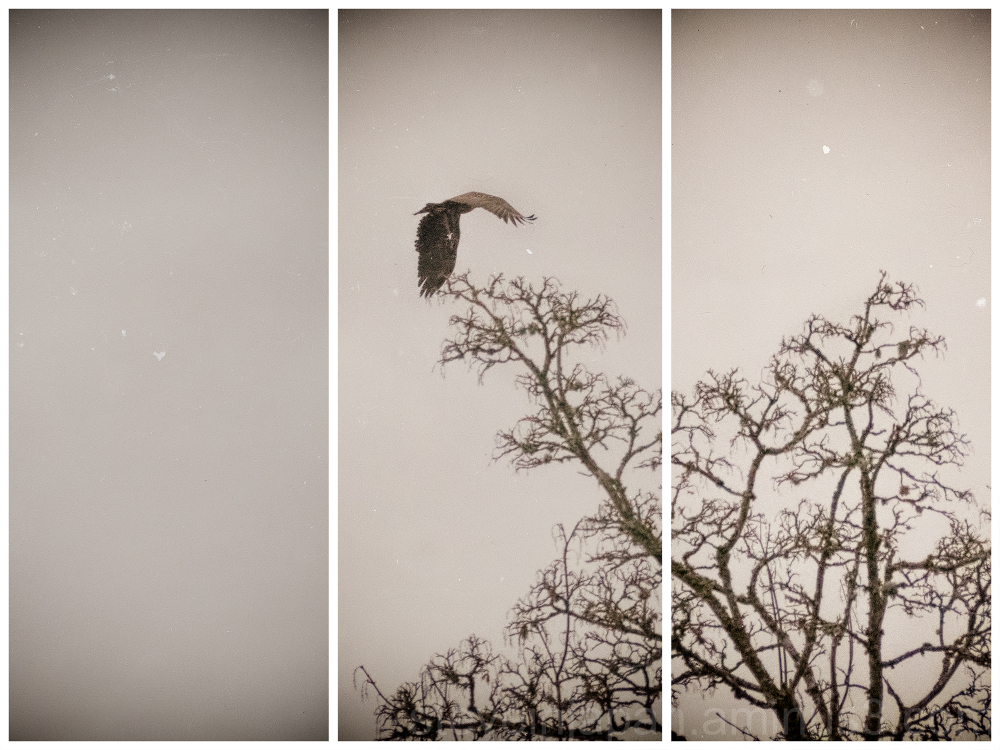 Bald Eagles at Nisqually Wildlife Refuge.
