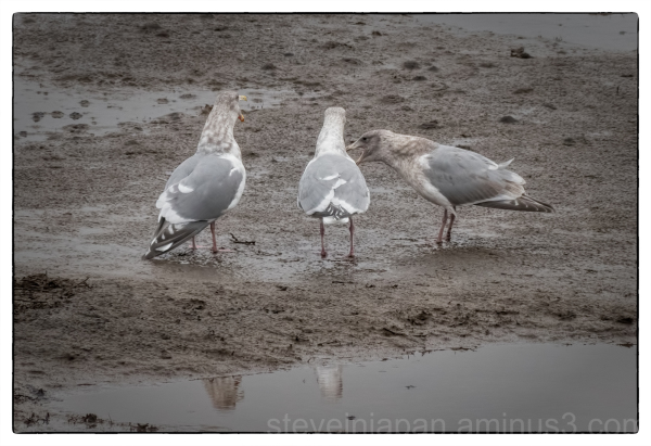 Gulls at Nisqually Wildlife Refuge.