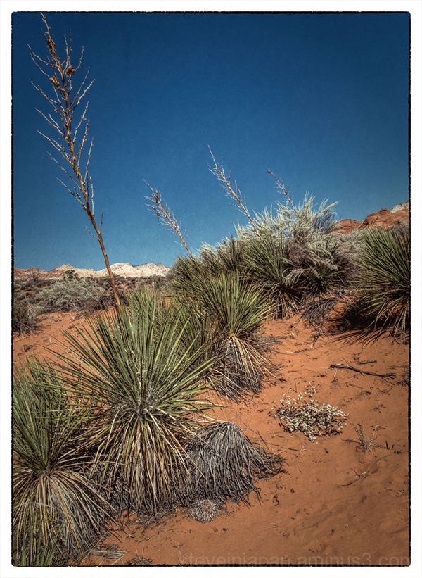 Yuccas in Snow Canyon State Park, Utah.