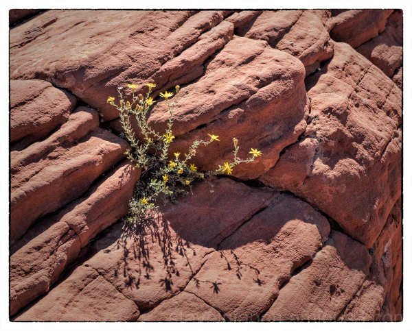 A wildflower in Snow Canyon State Park, Utah.