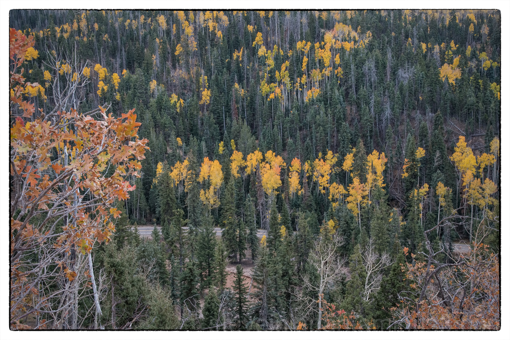 Aspens along Utah Route 14.