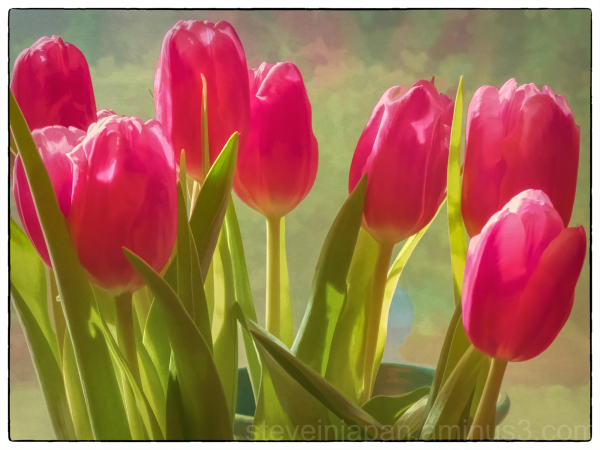 Tulips in the kitchen window.