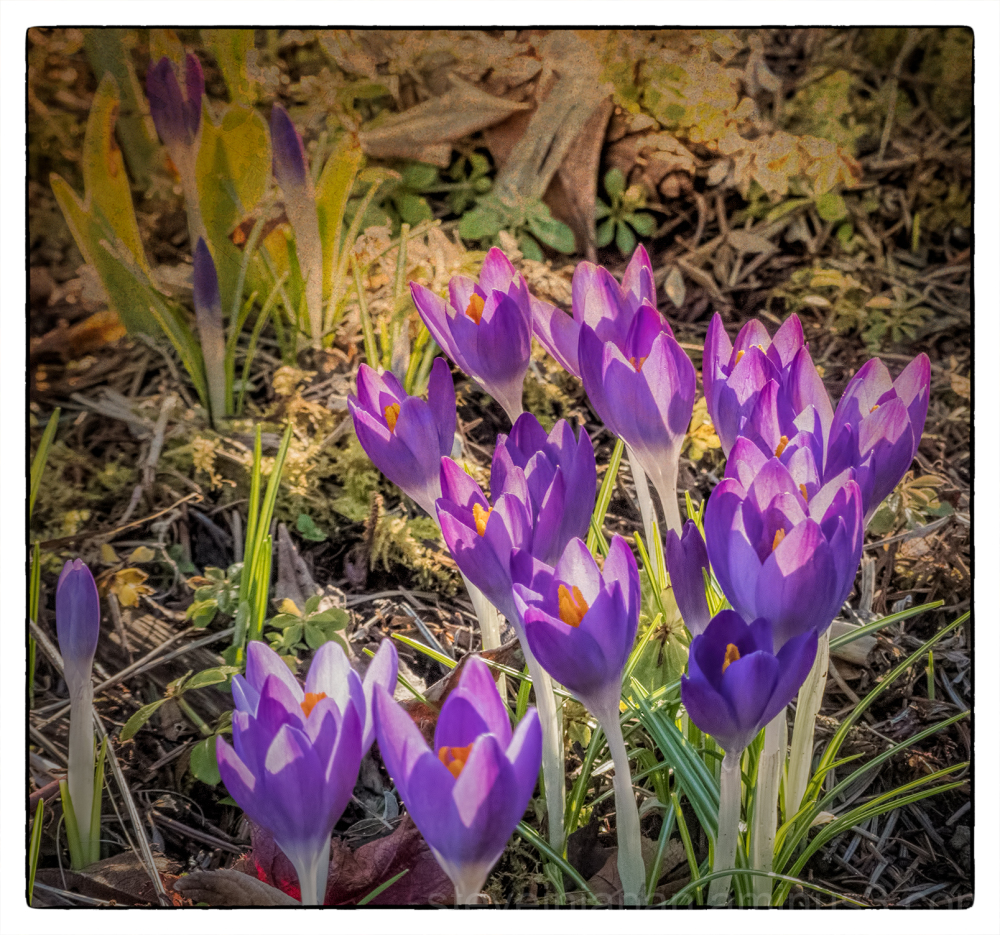 The neighbor lady's crocuses.