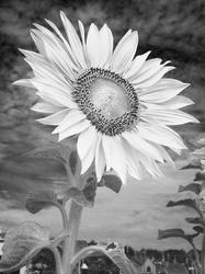 Sunflower in B&W