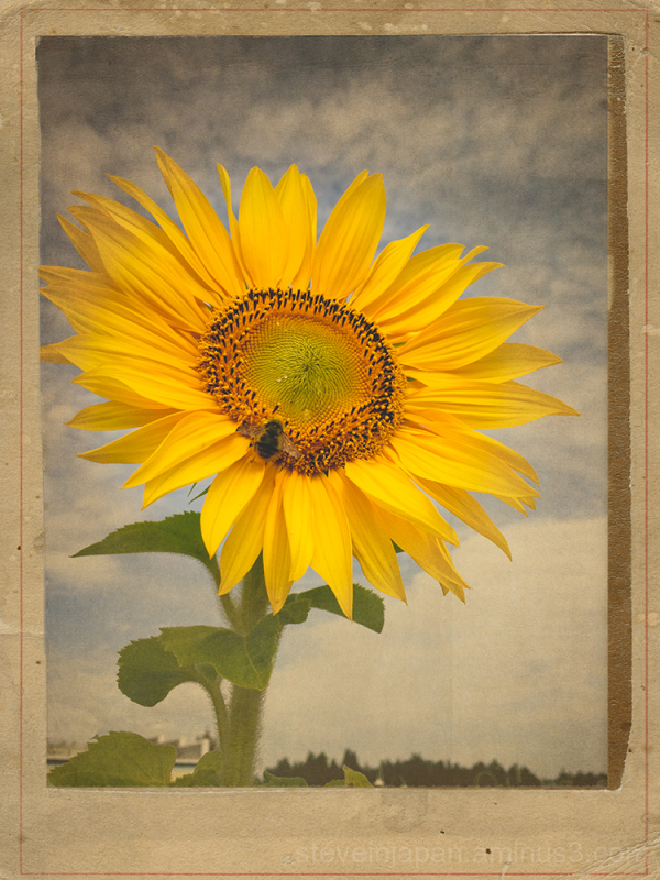 A sunflower seen at Percival Landing.