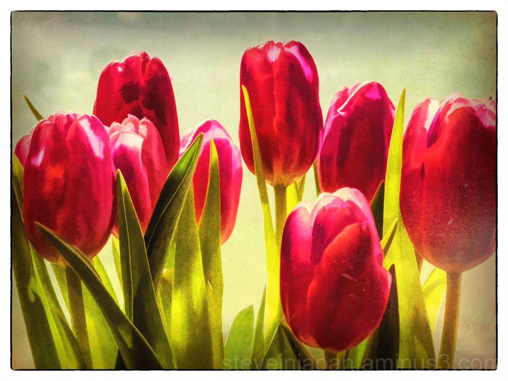 Tulips in the kitchen window.