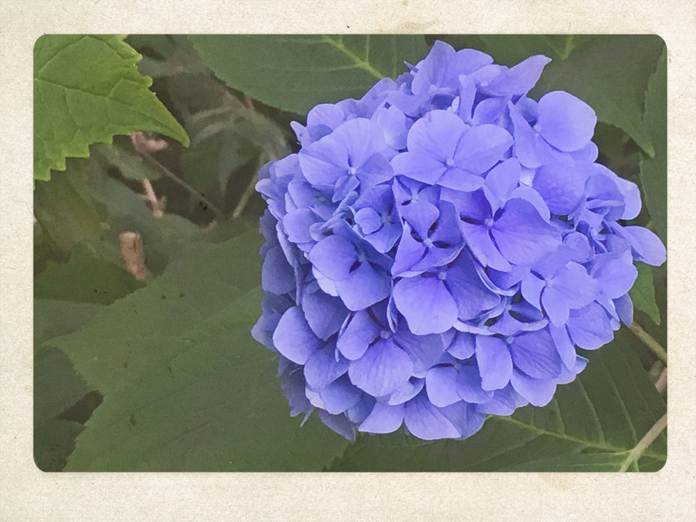 A late summer hydrangea blossom.
