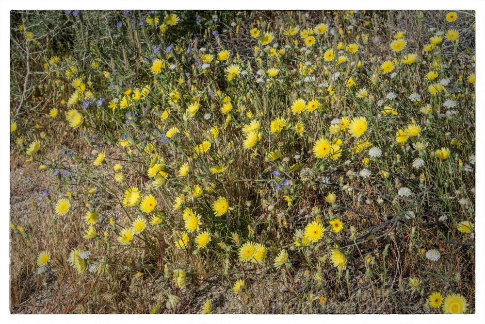 Desert dandelions in Borrego Springs, CA.