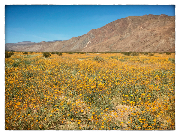 Desert Sunflowers as Far as You Can See