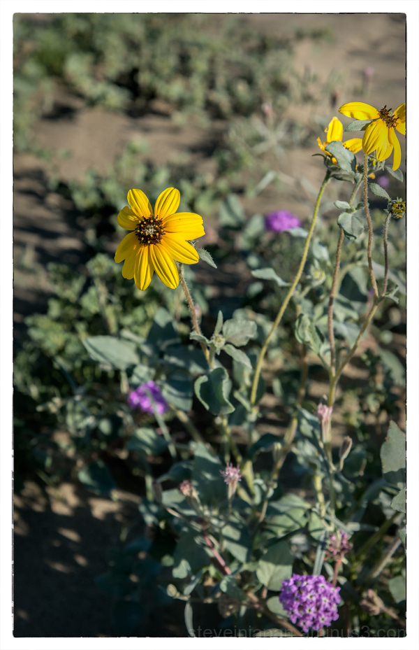 Dune Sunflower in Borrego Springs, CA.