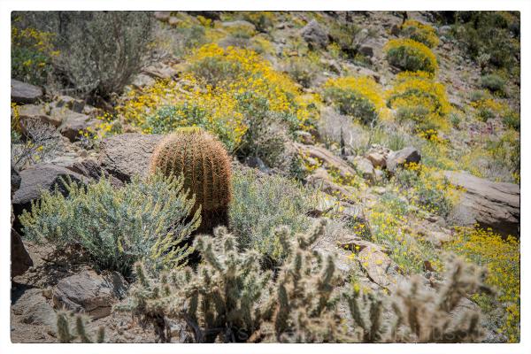 Desert Barrel Cactus