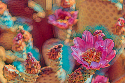 Beavertail in Bloom